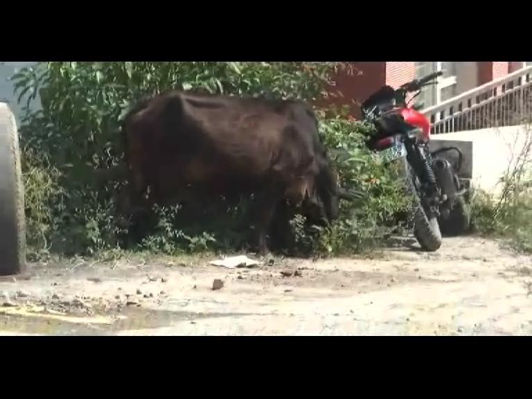 Image of नाहन में आवारा पशुओं का आतंक, विभाग कर रहा खानापूर्ति